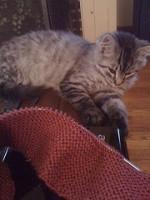 Dexter the Kitten